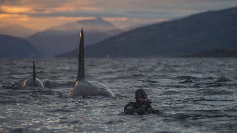 Spectacular close ups of herring feeding orcas...