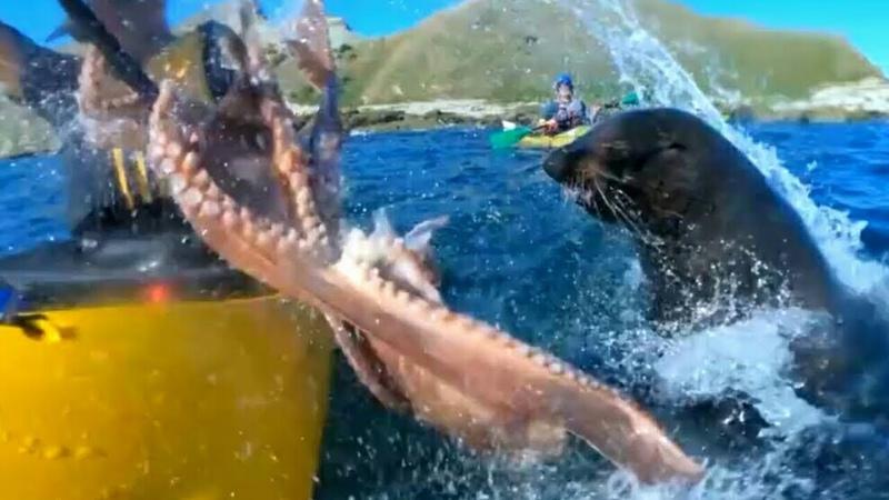 Тюлень бросил осьминога прямо в лицо каякеру в Новой Зеландии