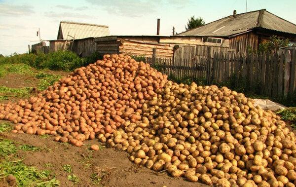 Какие подкормки и удобрения нужны картофелю Я считаю, что даже, если вы выращиваете картофель на плодородной почве, все равно нужно вносить удобрения. Только так можно получить здоровый