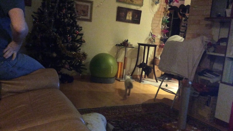 Кот носит мячик как пёс