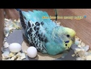 A Budgie With Too Many Eggs