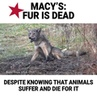 """PETA on Instagram: """"By selling fur in its stores, Macy's is profiting off of horrendous cruelty to foxes, minks, and other animals killed for their..."""