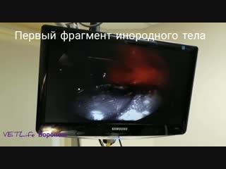 Гастроскопия у щенка VETLife Воронеж