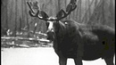 Canadian Wilderness: The Moose Country 1927 Fox Varieties