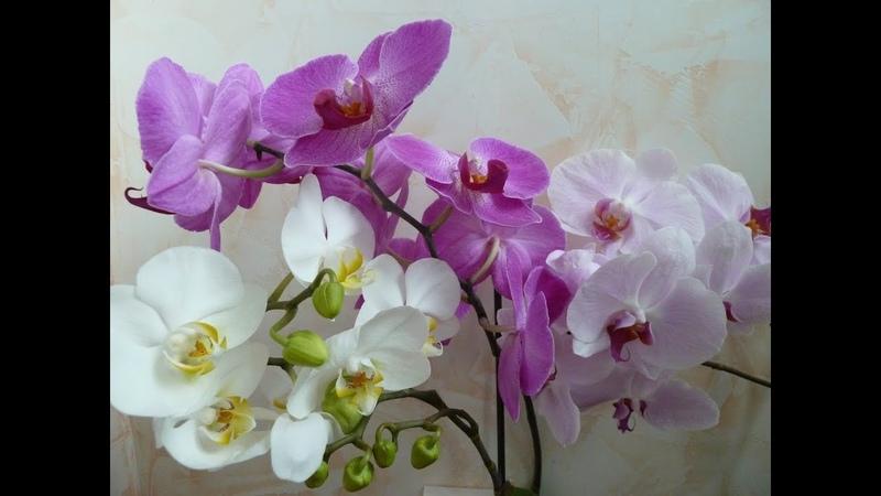 Орхидеи цветут как ненормальные Живая вода для орхидей и не только