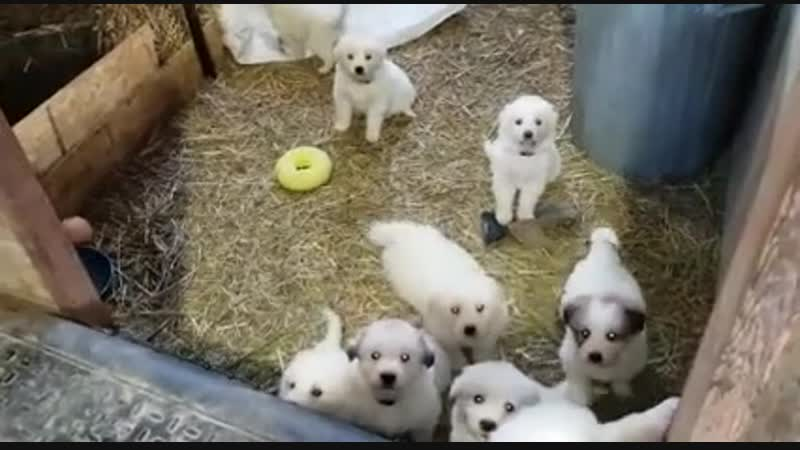 Great Pyrenees puppies in the barn! Makes me smile every time I am there.