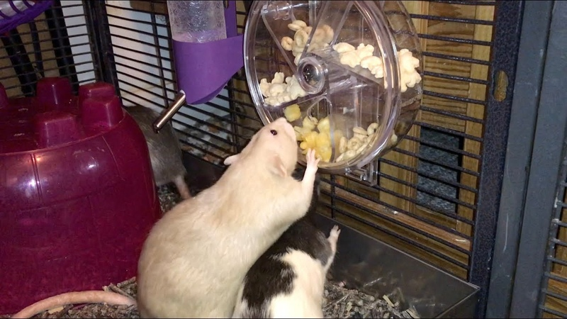 The Rats Try Out A New Foraging Wheel!