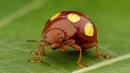 Gold dotted Beetle from Ecuador