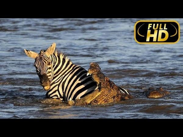 Африканская Кровавая Река Эксклюзив FULL HD Документальный фильм на Amazing Animals TV