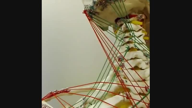 Анатомические поезда 3. Поверхностная миофасциальная линия рук.
