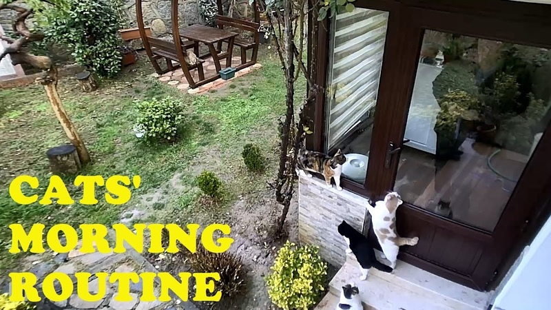 Cats waiting for breakfast (The morning routine)