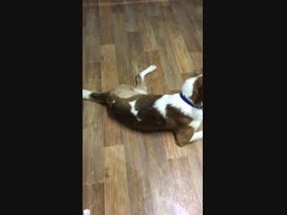 Пермский пёс Бим с двумя лапами, которого переехал поезд, вновь научился ходить