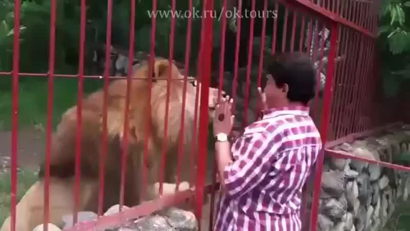 Случай произошел в Колумбии - женщина спасла львенка от смерти, выходила его и спустя некоторое время решила его навестить.
