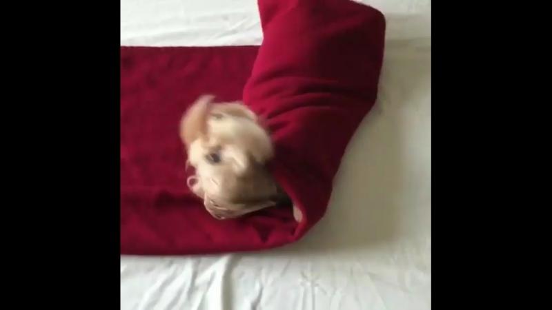 Пёс заворачивается в одеяло