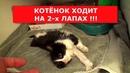 Котенок ходит на двух лапах! Спасли бездомного котёнка.Ветеринарное ранчо