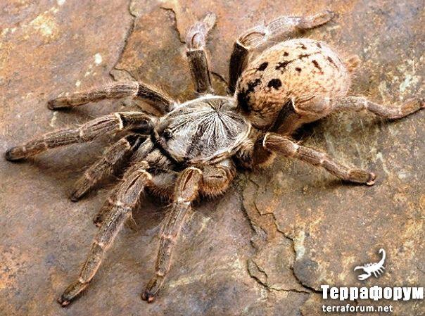 Pterinochilus-lugardi