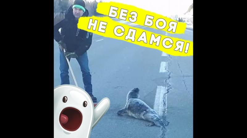 Этот маленький тюлень выполз на дорогу!
