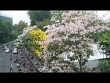 Bunga Tabebuya Di Surabaya Serasa di Luar Negeri yang Kini Bermekaran
