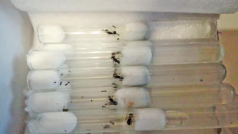 Партия муравьёв-жнецов (Messor Structor)