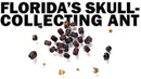 Florida's Skull-Collecting Ant
