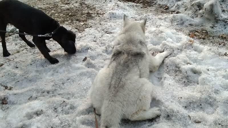 Арс охраняет снег от Оливки