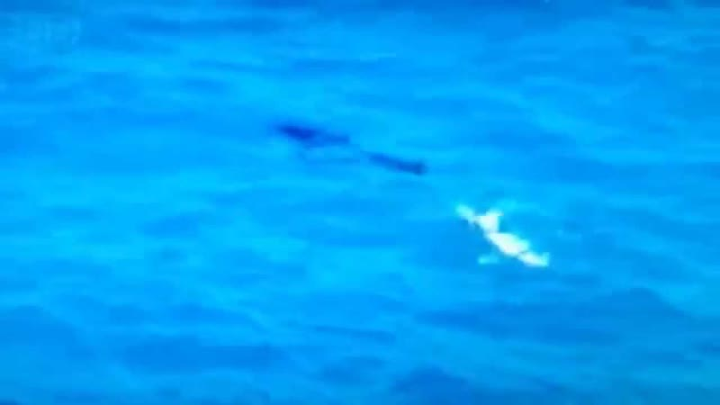 Морской лев доминирует над белой акулой
