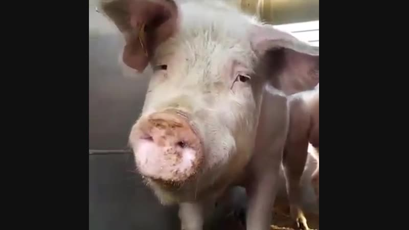 Свинья трясется, предчувствуя бойню