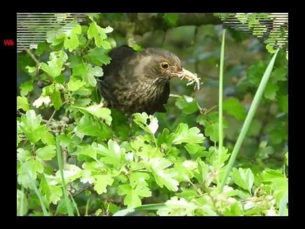 Чёрный дрозд нем Amsel анг Blackbird
