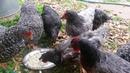 Barilla, проверены курицами и петухом!