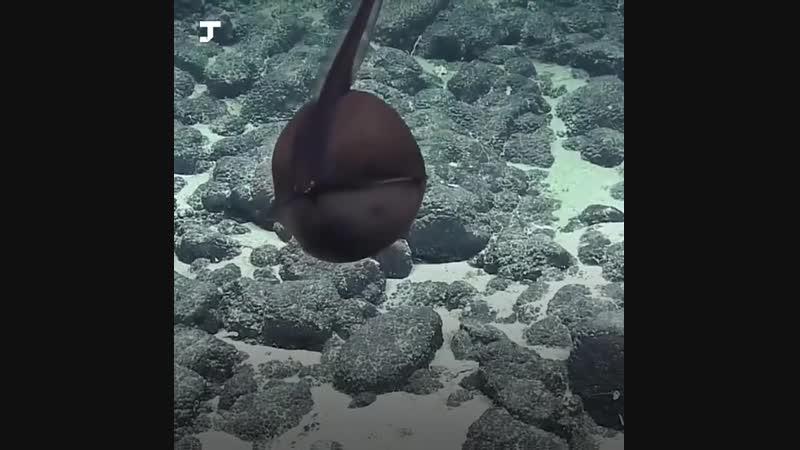 Учёные нашли на дне океана странную рыбу