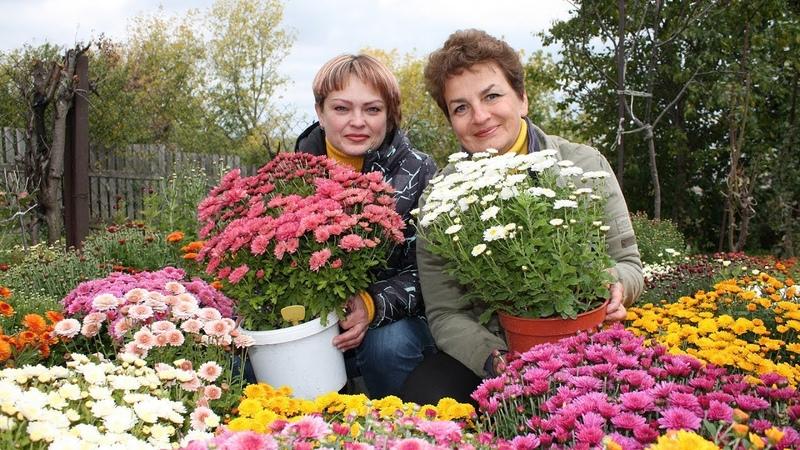 Роскошные хризантемы мультифлора Все тонкости выращивания