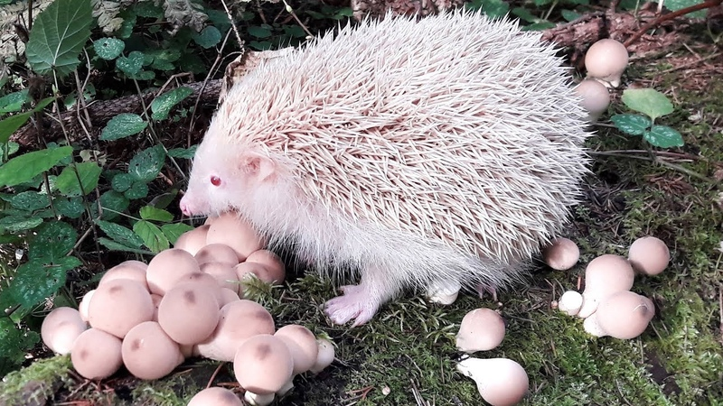 Ежик-альбинос Вега помогает собирать грибы: дождевики, опята. Золотая осень в лесу. Еж, ежи, ежики.