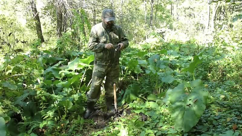 Употребление в пищу корней лопуха Выкапывание корней лопуха