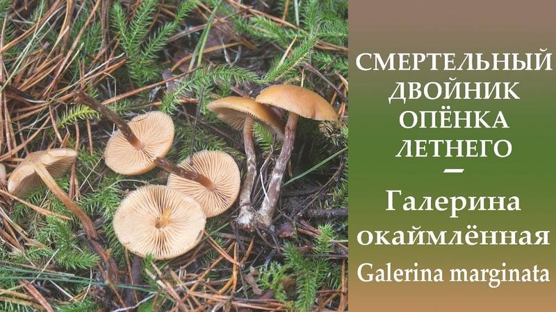СМЕРТЕЛЬНЫЙ двойник Опёнка летнего - Галерина окаймлённая - Galerina marginata