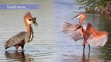 Kruger National Park South Africa bird sightings 2018 - featuring the Goliath heron and others