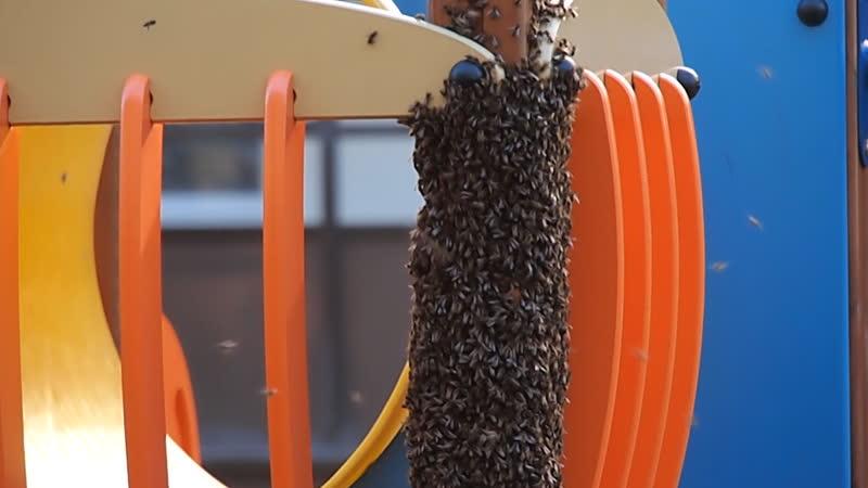 Пчёлы в 171/5 корпусе. Солнечный Город.