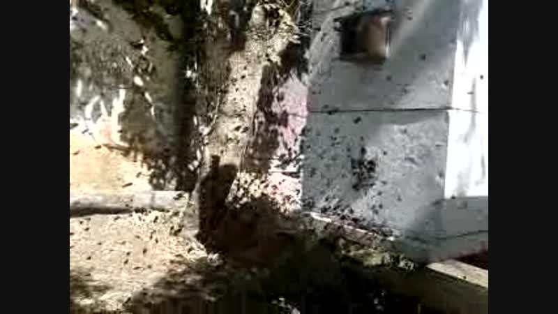 облёт у пчёл