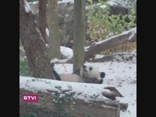Панда радуется первому снегу