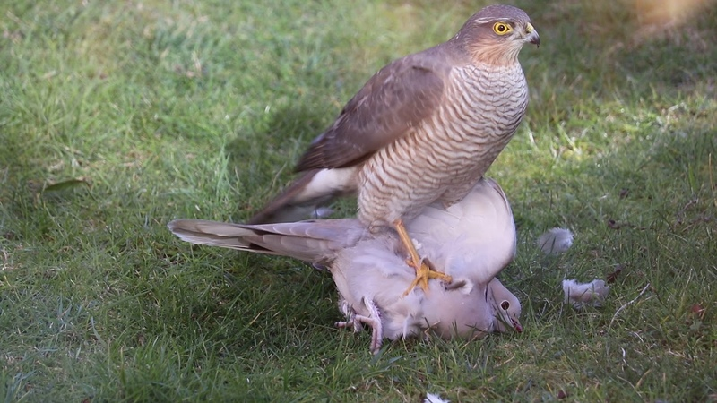 Sparrowhawk and Collared Dove