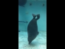 Нерпа танцует