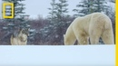 Wolf Pack Takes on a Polar Bear Ep 1 Wildlife The Big Freeze