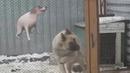 Дед смотри собака танцует лол