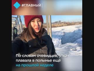 Спецоперация по спасению утки в Улан-Удэ