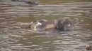 Нильский крокодил ест слонёнка