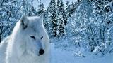 Белая волчица исп. Александр Казанцев (Сотник)