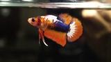 Male Marbled Blue Orange Halfmoon Plakat