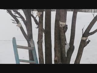 Белоспинный, большой пестрый и сирийский дятлы на сале