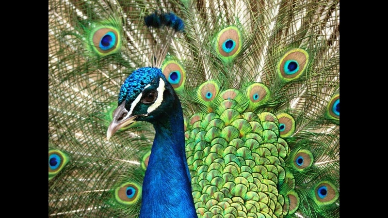 Мастер-класс Павлин из изолона   DIY Peacock