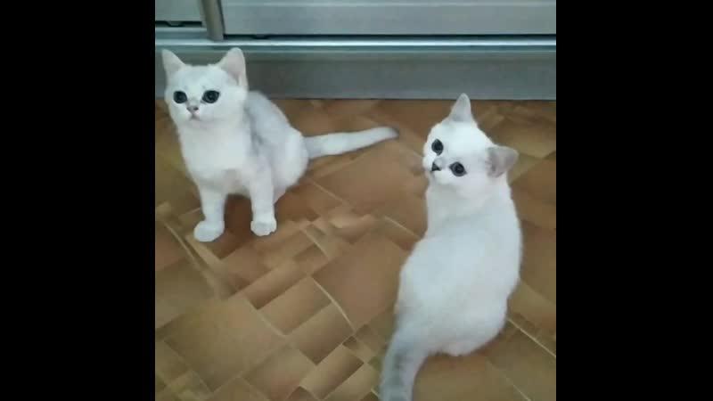 Продаются британские котята серебристые шиншиллы