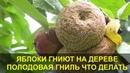 Гниют Яблоки на Дереве. Плодовая Гниль - Монилиоз, что Делать как Лечить.